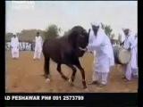 Лезгинку Танцует лошадь...